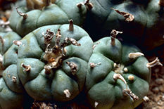 peyote Lophophora williamsii live plant