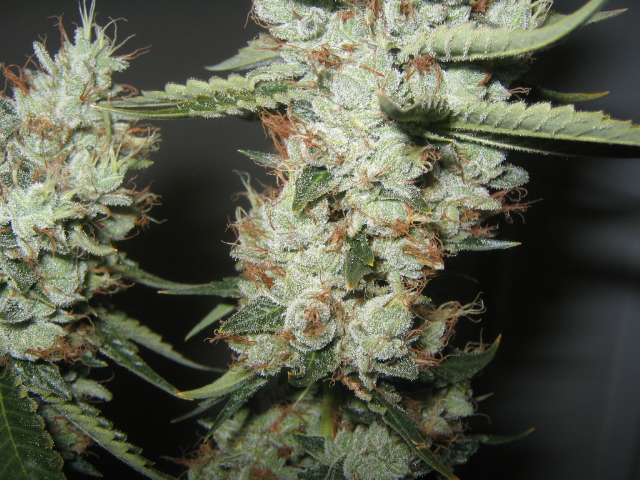 blue cookies marijuana seeds - $169 00 : Cannabis, Culture