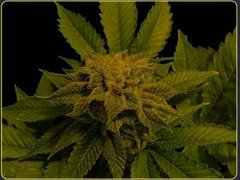 Heavyweight Budziller Feminised Seeds