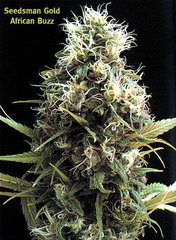 African Buzz single cannabis seeds