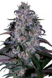seedmakers marijuana seeds Alakazam