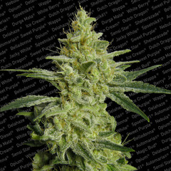 All kush cannabis single seeds