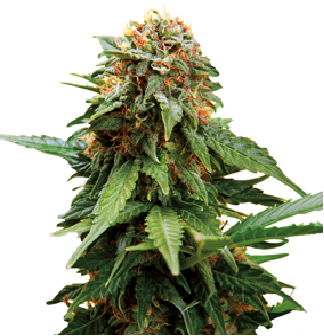Tangerine Dream cannabis cup 2010 seeds