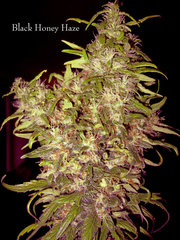 Black Honey Haze cannabis single seeds