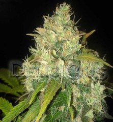 Black russian single cannabis seeds