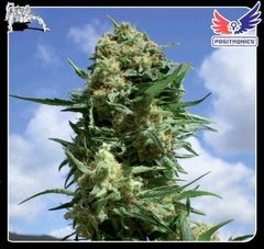 Black Widow feminized single seeds