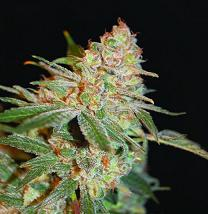 Advanced Seeds Black Diesel 10 Seed Pack