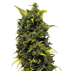 Blue Cheese marijuana single seeds