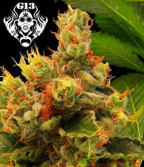 Blueberry Gum single seeds