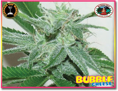 Bubble Cheese single seeds