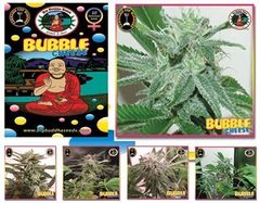 Bubble Cheese marijuana seeds
