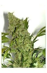 Chronic single marijuana seed