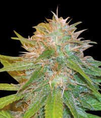 Chronic Haze seeds