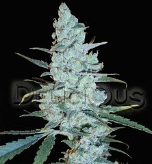 Critical Jack herer marijuana single seeds