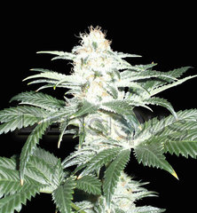 Critical Sensi star single seeds