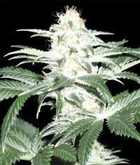 Critical Sensi Star marijuana seeds