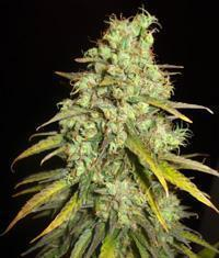Critical Super Haze seeds