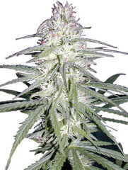Destroyer marijuana single seed
