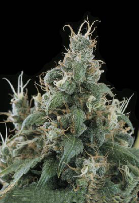 Diamond Head marijuana seeds