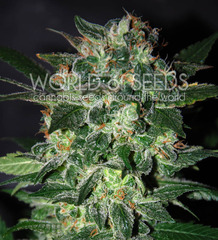 Domina Star single seeds