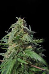 Dr Jekill single seeds