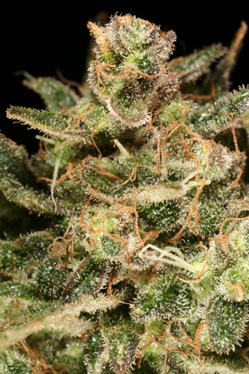 Atomic Haze Marijuana seeds - Click Image to Close