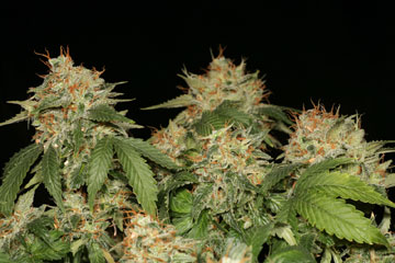 Atomic Northern Lights Seeds