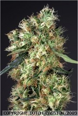 Dutch Haze marijuana single seeds