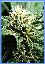 Hazy Daze marijuana seeds