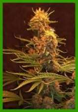 skunk master marijuana seeds
