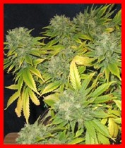 strawberry cough marijuana seeds