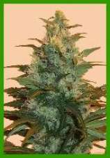 sunrise dew marijuana seeds