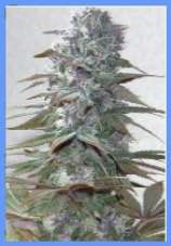 Autum Fall marijuana seeds