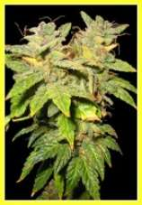 Blue Lightning marijuana seeds 10 Pack