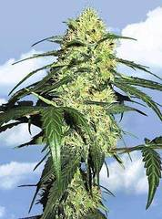 Dutch Delight marijuana seeds
