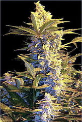Easy Ryder feminized single seeds