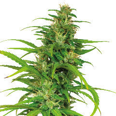Flower Power automatic single seeds