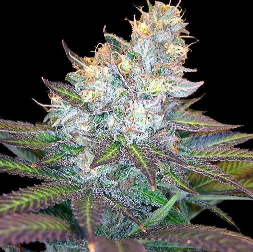 Frost Wreck cannabis seeds