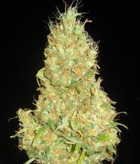 Fruity Chronic Juice seeds