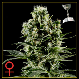 Himalya Gold Feminized