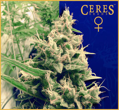 Hollands Hope marijuana seeds