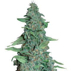 Honey B single marijuana seeds