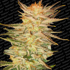 Heavyweight Midnight X-press Feminised Seeds
