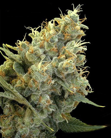 Indian Skunk marijuana seeds