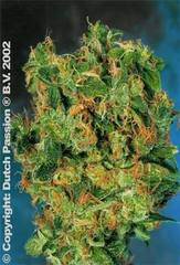 Isis single dutch passion feminized seeds