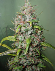 Island Sweet Skunk next generation seeds
