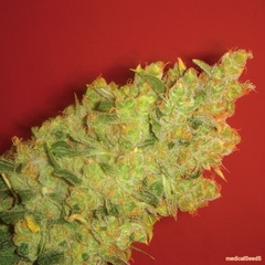 Jack La Mota medical single seeds