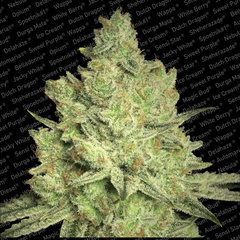 Jacky White paradise single seed feminised