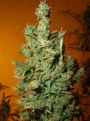 Jamaican Grape single seeds