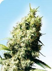 Jamaican Pearl single sensi seeds